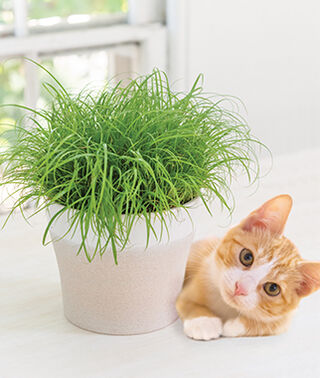What is Cat Grass? | What Are the Benefits of Cat Grass?