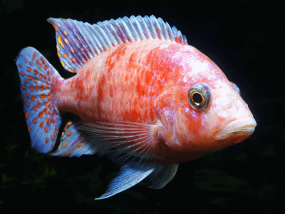 Cichlid Fish Feed Types and Prices