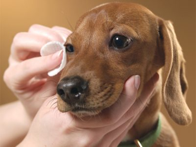 How To Do Eye Cleaning In Dogs? | Dog Eye Care