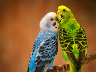 Spawning in Budgerigars | Spawning Period of Budgerigars