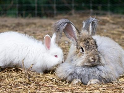 What are Rabbit Species? | Rabbit Breeds and Features