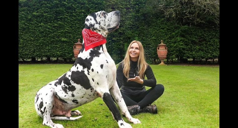 The 5 Biggest Dog Breeds in the World | The Greatest Dog Elves