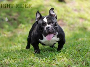 Micro Exotic bully